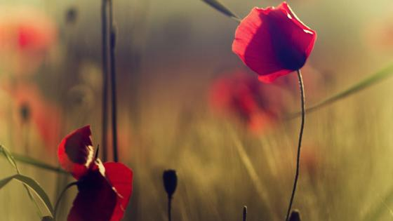 Red poppy close-up photo wallpaper