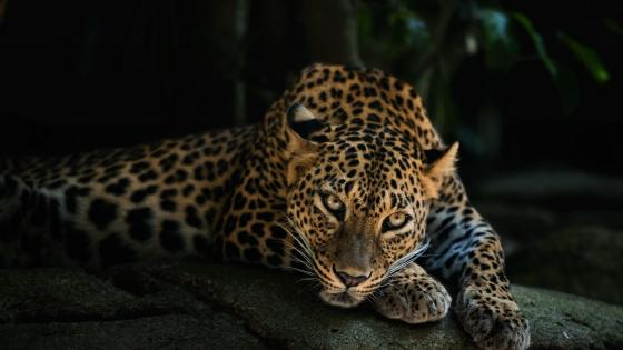 Resting leopard wallpaper