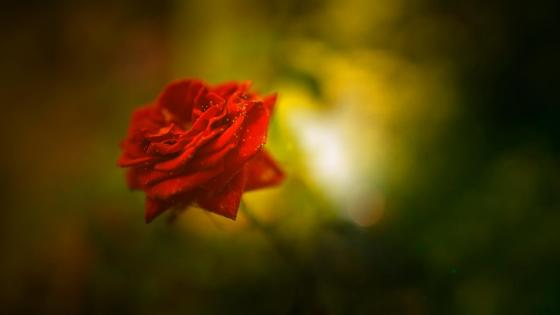 Red rose in blurred background wallpaper