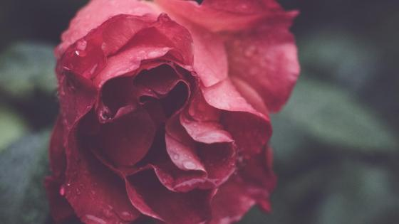 Red rose with dew drops wallpaper