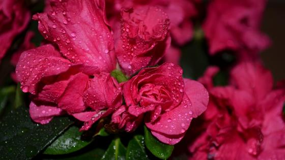 Dew drops on the rose wallpaper