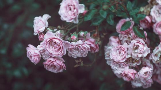 Lovely romantic pink rose wallpaper