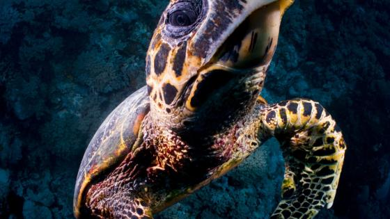 Loggerhead sea turtle wallpaper