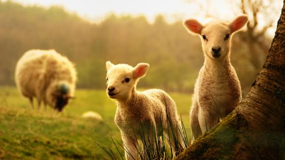 Cute baby sheep wallpaper