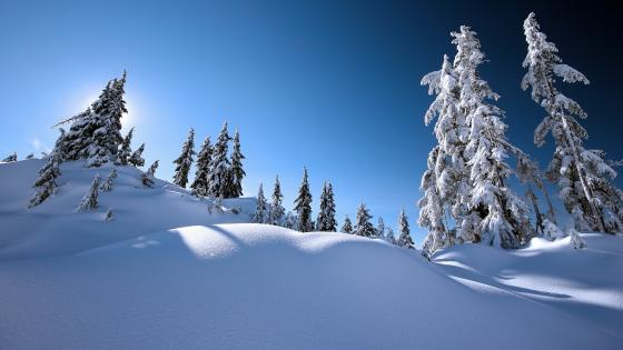 Snowy pine trees under the blue sky wallpaper