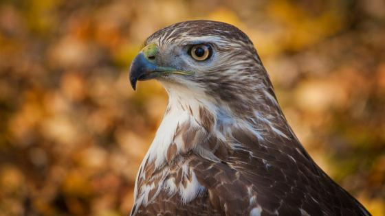 Hawk close-up photography wallpaper