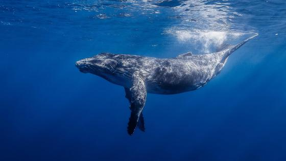 Humpback whale -  Underwater photography wallpaper