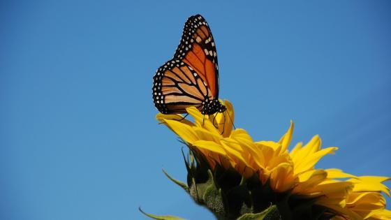 Butterfly on the sunflower wallpaper