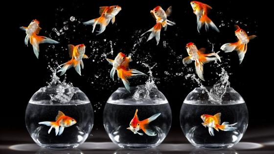 Goldfish in the aquarium wallpaper