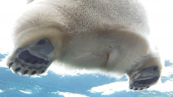 Polar bear paws and butt wallpaper