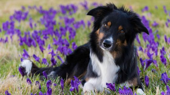 Border Collie puppy in the flower field  wallpaper