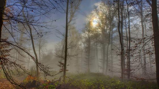 Misty forset in the morning sunlight wallpaper