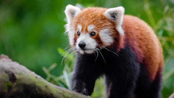 Kitten-like face Red Panda wallpaper