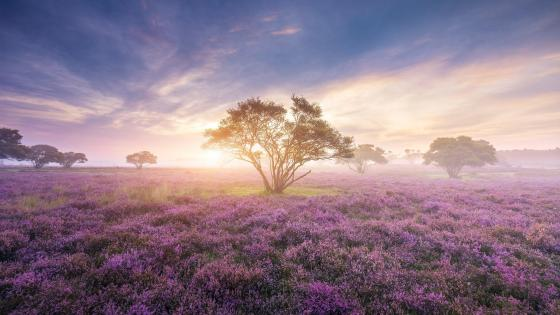 Morning sunlight over the lavender field ☀️ wallpaper