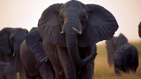 Herd of elephants wallpaper