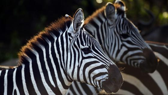 Zebras photo wallpaper