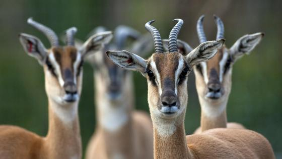 Springbok antelopes wallpaper