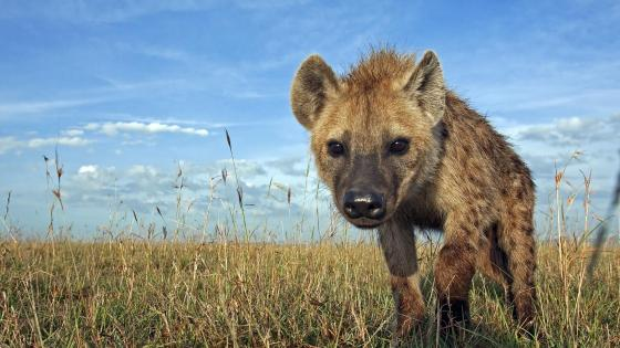 Hyena walking in the grass wallpaper