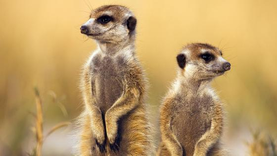 Cute Meerkats in Africa wallpaper