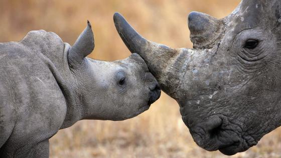 Rhinoceros baby wallpaper