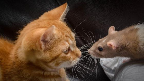 Funny rat and cat wallpaper