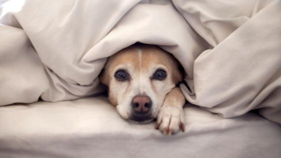 Cute dog hidden in the bedding wallpaper