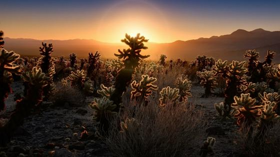 Cholla Cactus Garden at sunrise - Joshua Tree National Park, California wallpaper