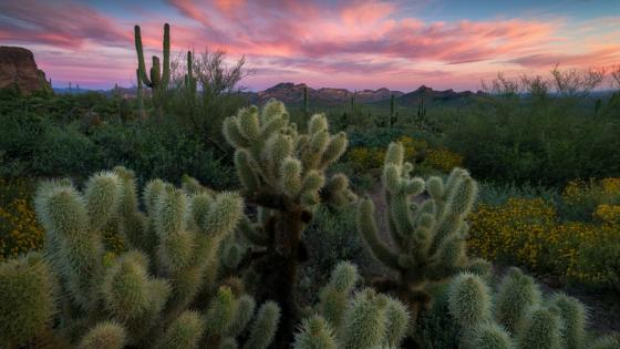 Cactus field at the Superstition Mountains, Arizona wallpaper
