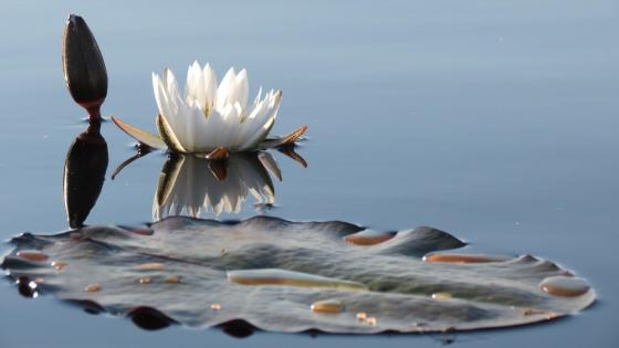 White water lily wallpaper