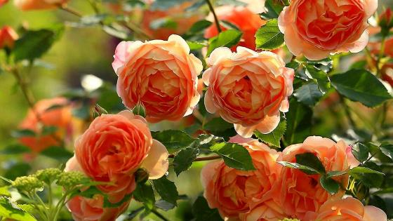 Roses in the garden wallpaper