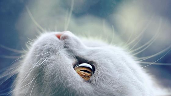 White cat face wallpaper