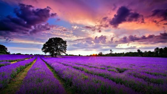 Sunrise over the lavender filed wallpaper