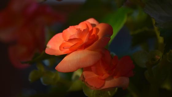Garden rose wallpaper