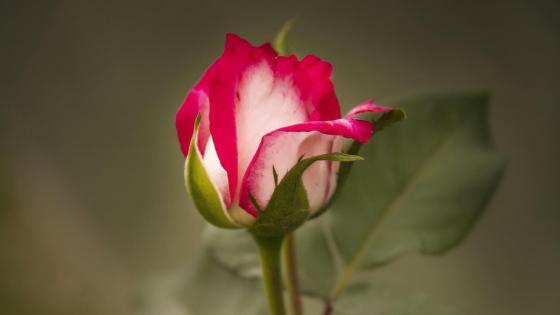 Redish rose bud wallpaper