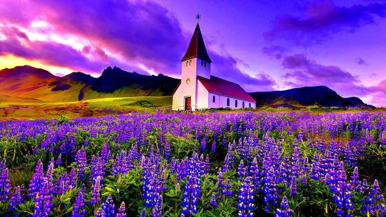 Vik i Myrdal Church in the lupine flower field wallpaper