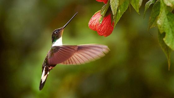 Hummingbird in flight wallpaper