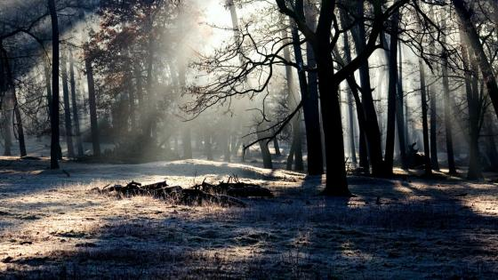 Rays of light in the hoary forest wallpaper