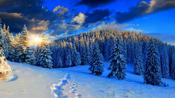 Snowy pine forest in the morning sunlight ❄️☀️ wallpaper