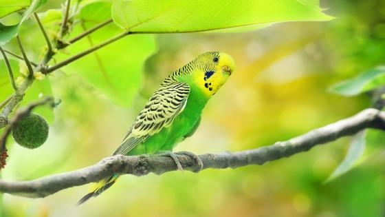 Green parakeet wallpaper