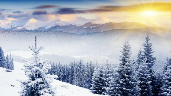 Snowy fir forest in the morning sunrays wallpaper