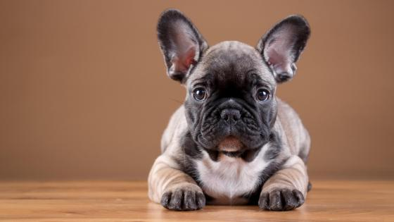French Bulldog puppy on the floor wallpaper