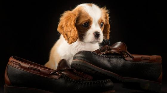 Cavalier King Charles Spaniel puppy wallpaper