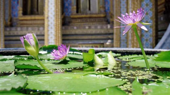 Lotus flower in a Zen garden, Thailand wallpaper