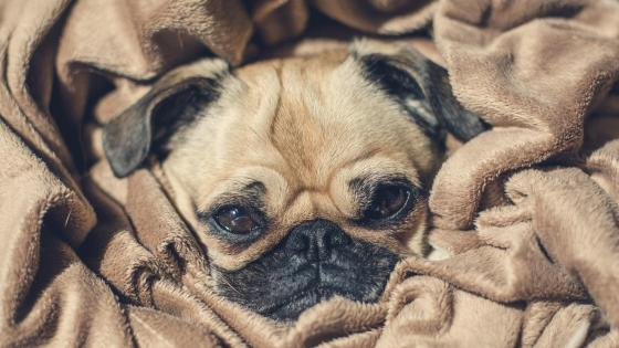 Cute pug dog in a blanket wallpaper