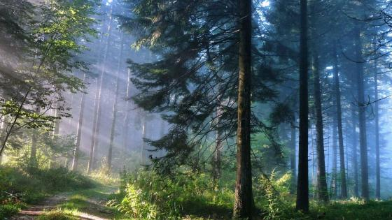 Sun rays in the forest wallpaper