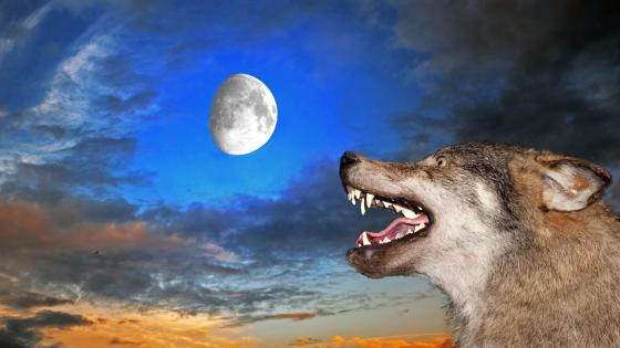 Wolf with the moon wallpaper
