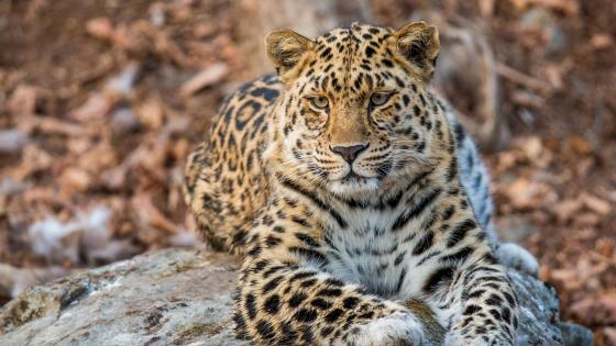 Amur leopard - Land of the Leopard National Park wallpaper