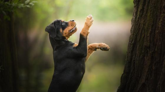 Cute Rottweiler wallpaper