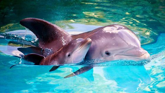 Cute baby dolphin with his mom wallpaper
