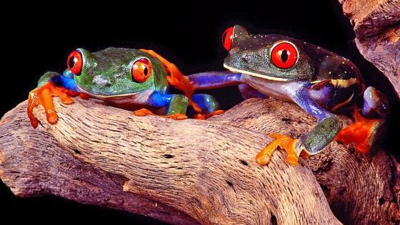 Night frogs wallpaper